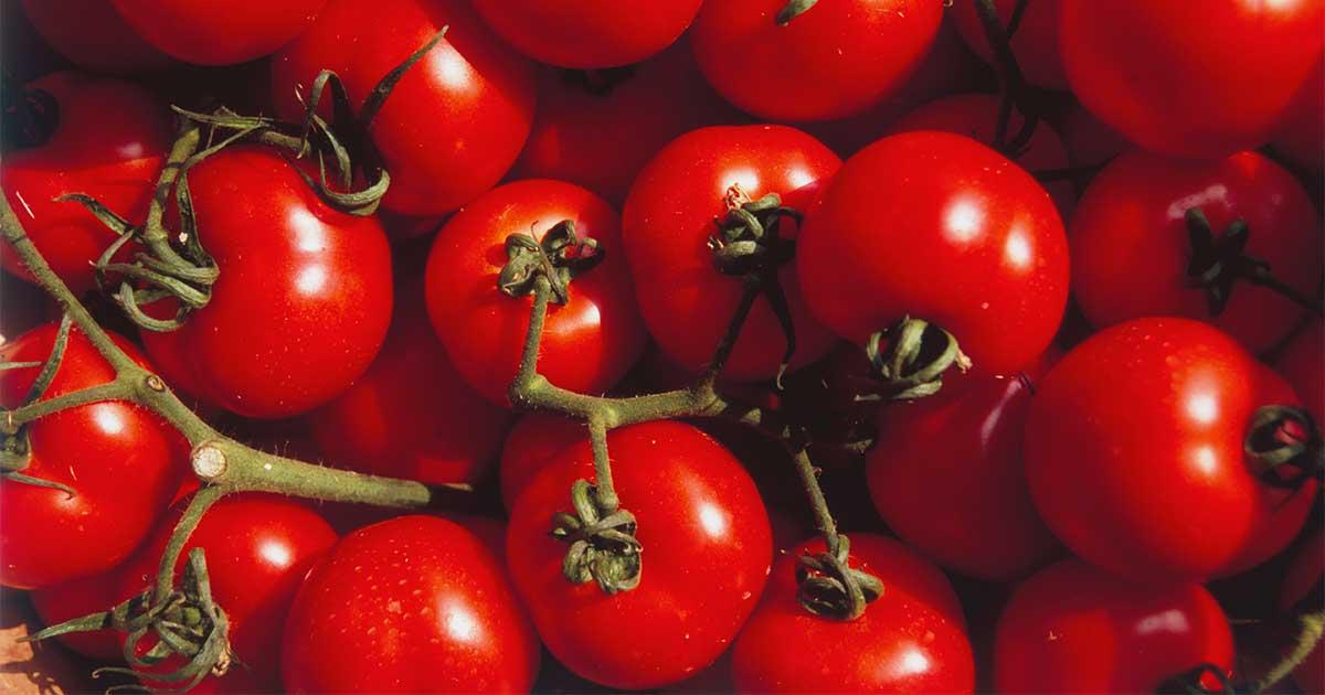Vines of tomatoes.
